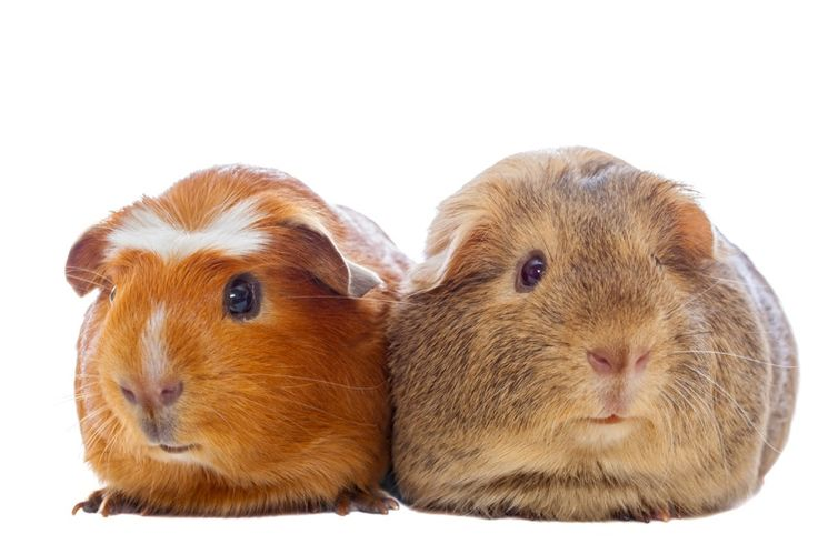 two guinea pigs isolated by Василий Ковалев on 500px