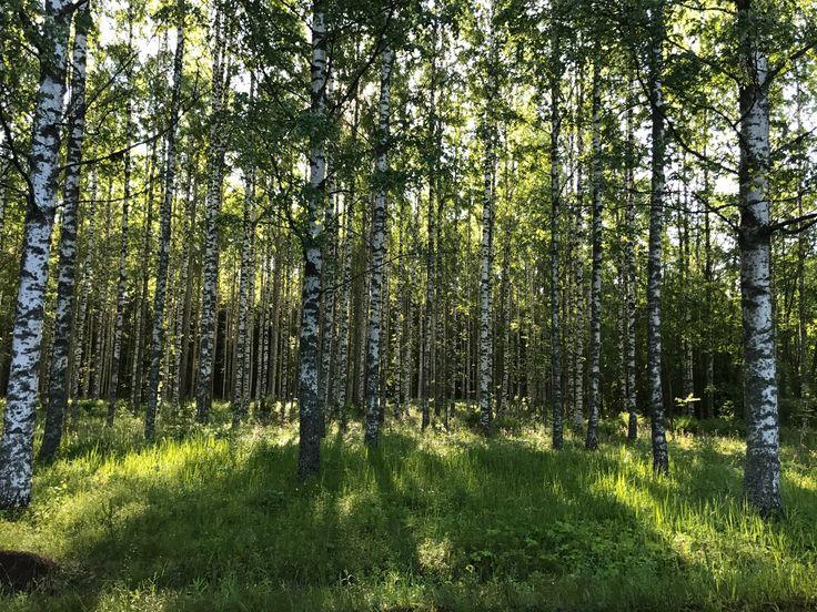 Keskisuomalaista koivua siellä jossain Jyväskylän maisemassa.... 6/2017