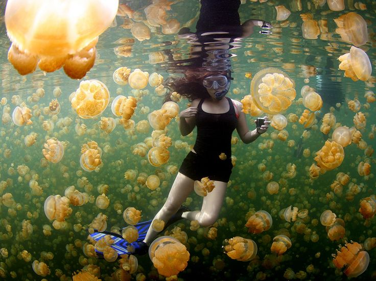 A snorkeler swims among golden jellyfish in Palau's Jellyfish Lake in this…