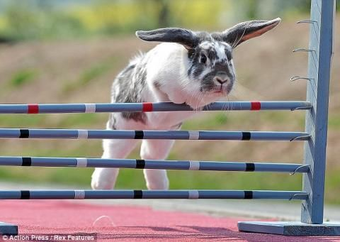 Hop To It: Bunny Show Jumping Is Really A Thing...see more at PetsLady.com -The FUN site for Animal Lovers