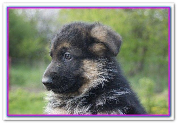 Best Dog Food For German Shepherd In India German Shepherd Dogs