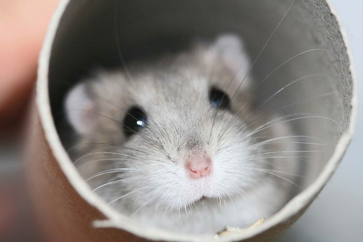 There are many different kinds of hamsters, but the five most common are Syrians, Dwarf Campbell Russians, Dwarf Winter White Russians, Roborovski Dwarfs, and Chinese Hamsters