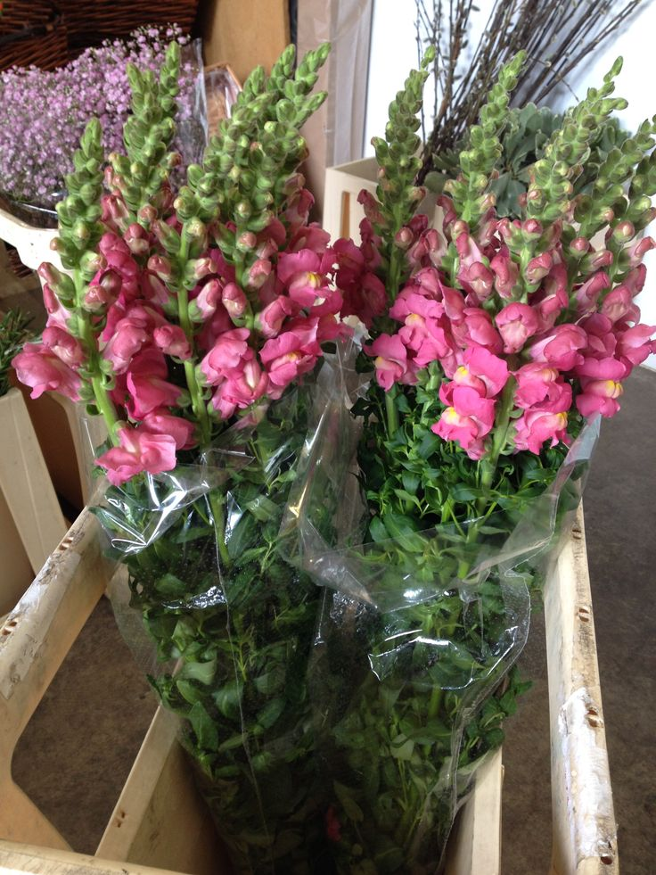 Gorgeous pink Snapdragon's called 'Animation Rose'. Sold in bunches of 10 stems from the Flowermonger the wholesale floral home delivery service.