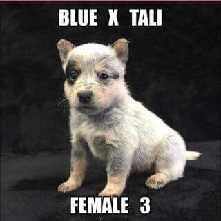 Litter of 7 Australian Cattle Dog puppies for sale in JEFFERSON, SC. ADN-36626 on PuppyFinder.com Gender: Female. Age: 4 Weeks Old