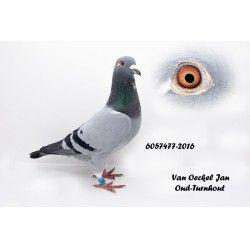 Van Oeckel Jan, Oud-Turnhout - duif ter plaatse