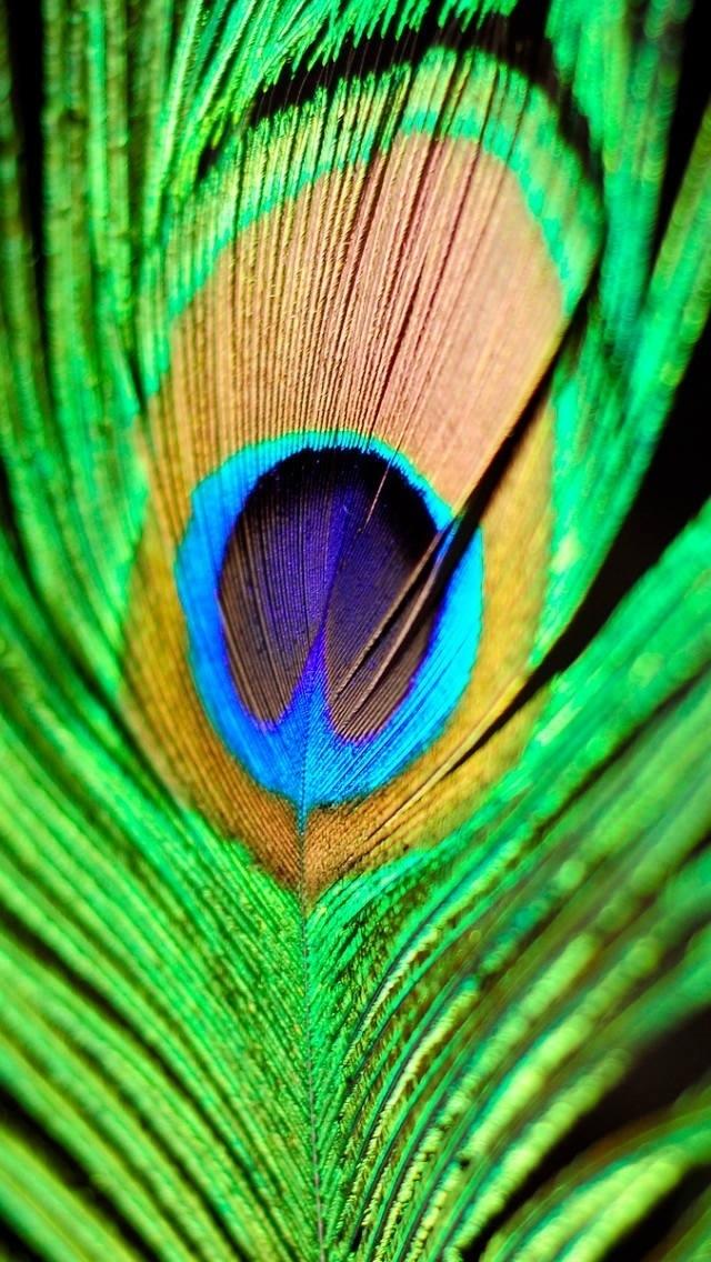 Peacock Feather #Ashissh