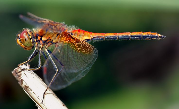 dragonfly pictures - Google Search