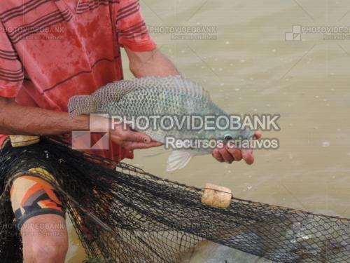 Carpa cruciana | PHOTOVIDEOBANK Fotografia de uma carpa cruciana, mãos de pescador segurando peixe vivo e retirado do tanque criadouro o uso de tarrafa: piscicultura, criação de peixes.