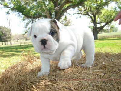 If you're the proud parent of an English bulldog it's a good idea to consider getting pet health insurance.