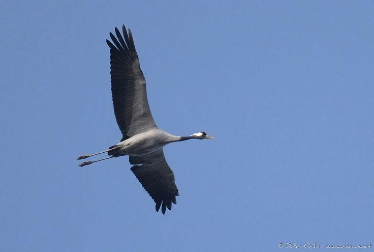Grue cendrée  Common Crane