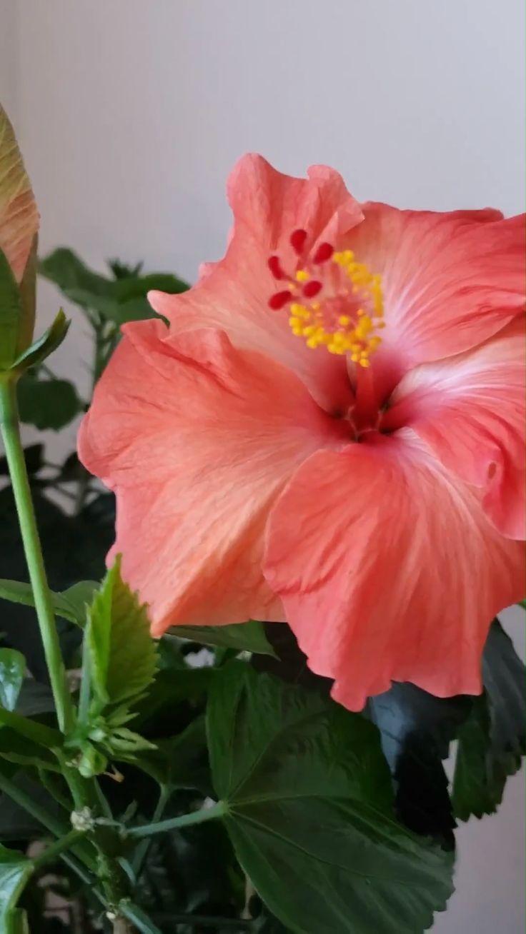 Growing Hibiscus Indoors Outdoor Gardens Growing Hibiscus