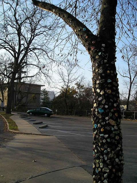 The gum tree on SEMO's Campus in Cape Girardeau MO by echoman, via Flickr