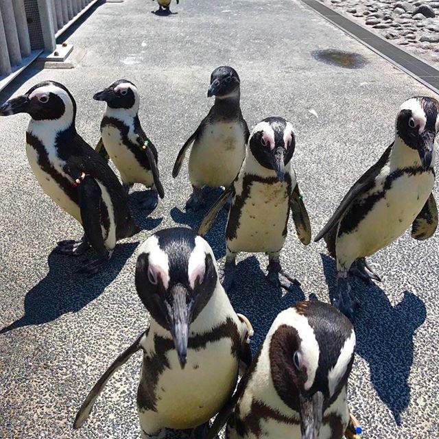 seaparadise_official Come back!ペンギン🐧🌈 鳥インフルエンザの影響で、裏でお休みしていたケープペンギンさんたちが、お客さまの前に帰ってきます🐧 #八景島 #シーパラ #八景島シーパラダイス #ケープペンギン #ふれあいラグーン #水族館 #aquarium #可愛い #cuteanimals  #横浜 #yokohama 横浜・八景島シーパラダイス 2017/04/19 19:57:24