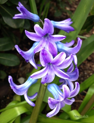 Violet hyacinth | Giacinto viola | Download http://www.iskralab.it/wp-content/uploads/2013/04/giacinti.zip