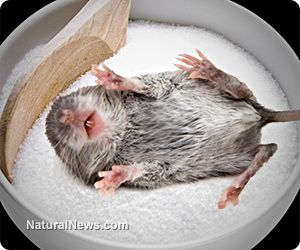 Mortality rate doubles for females eating refined white sugar - lab mice study rocks soda industry
