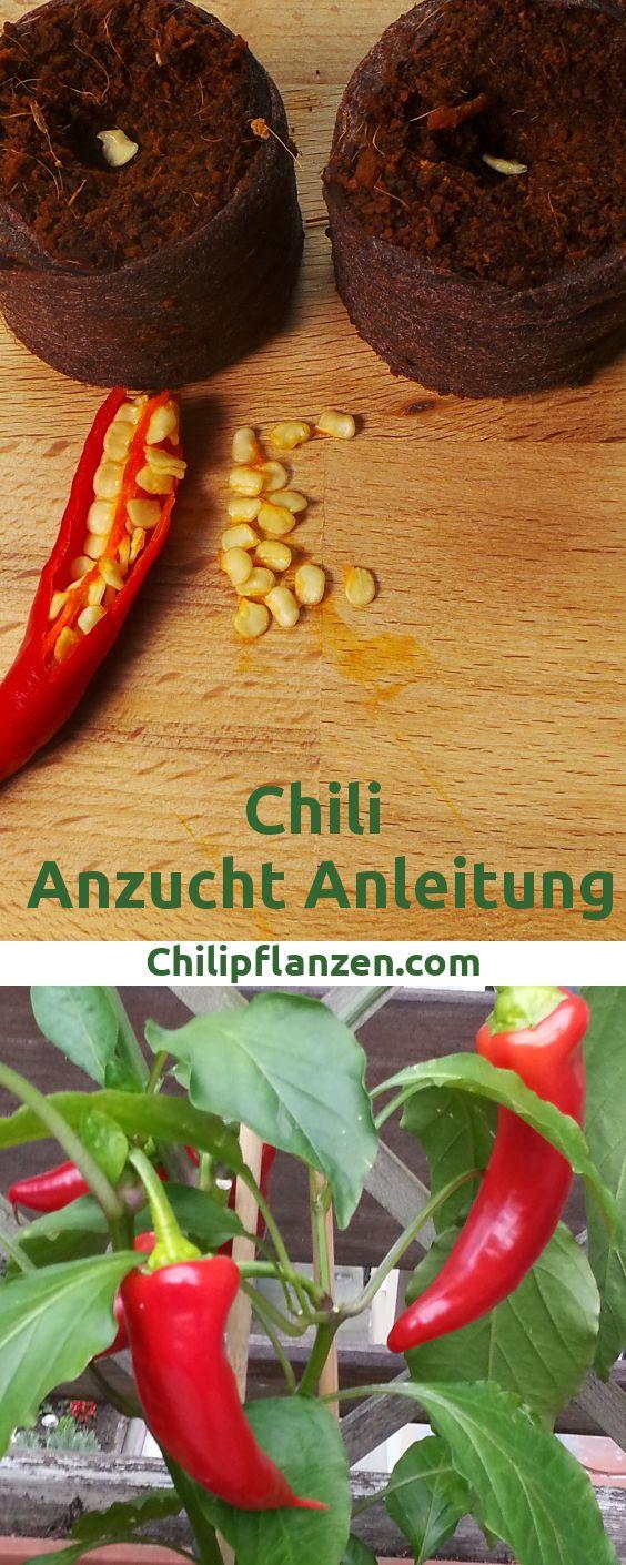 Chili Anzucht Anleitung