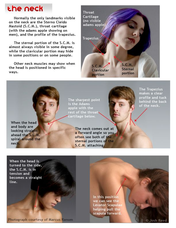 AnatoRef | Head and Neck Anatomy for Artists, (Tutorials by...