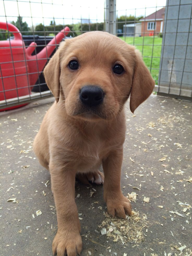 Chilli our beautiful Fox Red Labrador Puppy ❤️