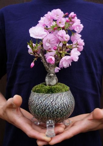 My unique Azalea in bloom! How would you like to add this to your home decor for the spring decoration? My sweet mini bonsai tree :)