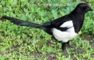 AlleSingvögel sind am frühen Morgen schon daDie Nächte werden kürzer, die Tage länger unddie Luft wird wärmer. Spätestens, wenn uns die Vögelmit ihremGeträller und Gezwitscher wieder erfreuen, dauert es nicht mehr lange bis der Frühling einsetzt.Vogelgezwitscher gehört zum Leben dazu und begleitet uns von früh bis spät.Das Konzert der Vogelstimmen folgt einem bestimmten Rhythmus und einer Zeitfolge, dieals Vogeluhr bezeichnet wird.Auch bei denVögeln gibt es Früh-und...