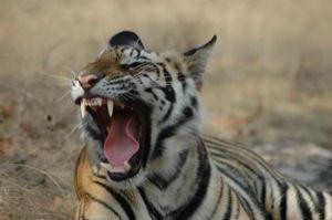 Neues Tigerresort in Indien eröffnet im Tiger Pench Nationalpark