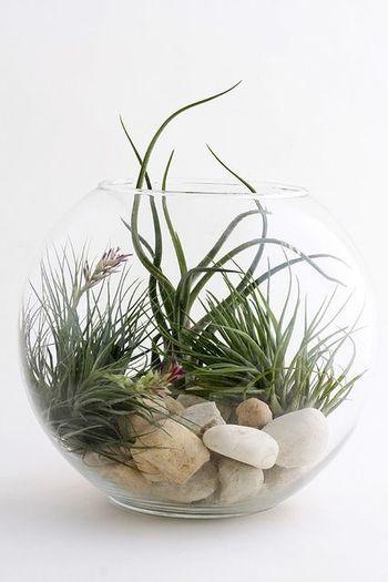 根を張らず、空気中の水分を吸収して成長することから「エアープランツ」と呼ばれる植物。 土や肥料が必要ないので、 お部屋に取り入れるグリーンとしては、インテリア性が抜群なんです!