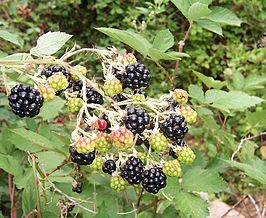 Gewone braam of (Rubus fruticosus)
