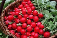 Дача. Выращиваем редис из своих семян.  Редис – самый ранний из овощей. Его крепкие сочные корнеплоды с приятным острым вкусом и ароматом пополняют наш рацион так необходимыми весной витаминами. Но многих огородников постигает неудача с выращиванием такого, казалось бы, «простого» растения.
