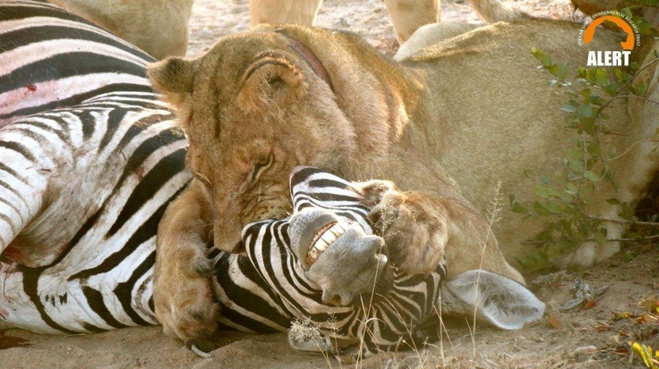 Classic choke-hold. Zeb definitely didn't stand a chance - at Antelope Park, Gweru, Zimbabwe
