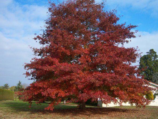 Quercus rubra - Red Oak | Long Island Native Plant Nursery - Native Plants and Trees