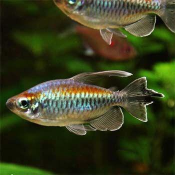 Phenacogrammus interruptus - 3x Congo Tetras - $36.00 : Second Nature Aquariums, Live Fish & Plants Delivered Australia Wide