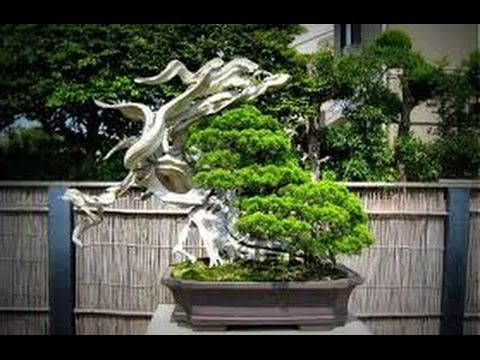 AMAZING    BONSAI    SHOW