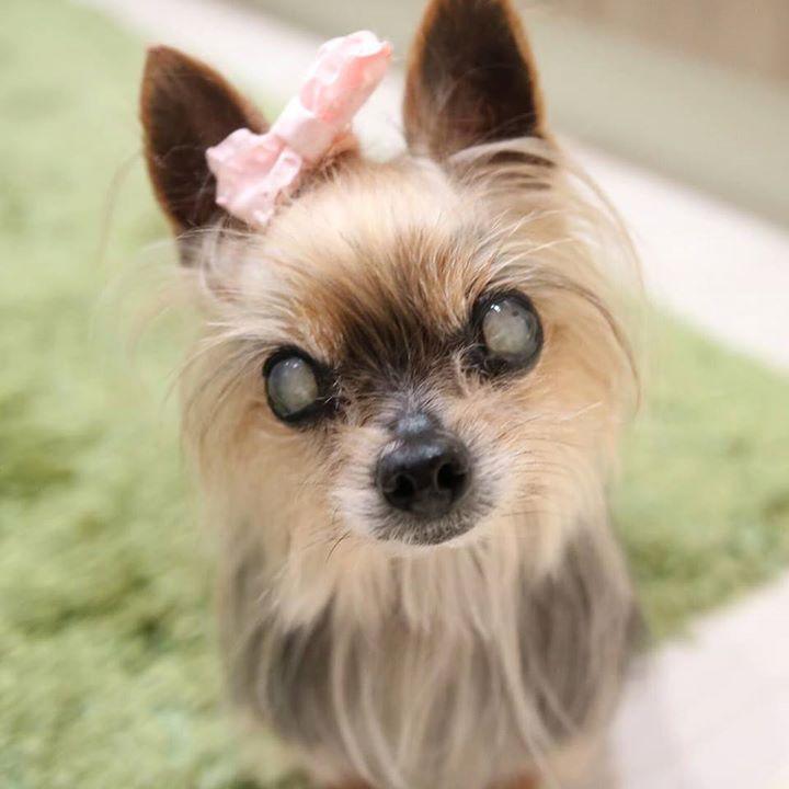 またカメラですか byりん #ヨーキー #ヨークシャテリア #多頭飼い #仲良し わんこ #シニア犬 #yorkie #terrier #yorksireterrier #dog #dogs #dogstagram #cute #love #dogsofinstagram #instadog #todayswanko #dogs_of_instagram #lovemydog #cutedogs #lovedogs #petstagram #olddog #チームシニアヨーキー #カメラ女子 #キャノン #EOSM3 #カメラ #練習  by mini_mini_rin  http://bit.ly/teacupdogshq