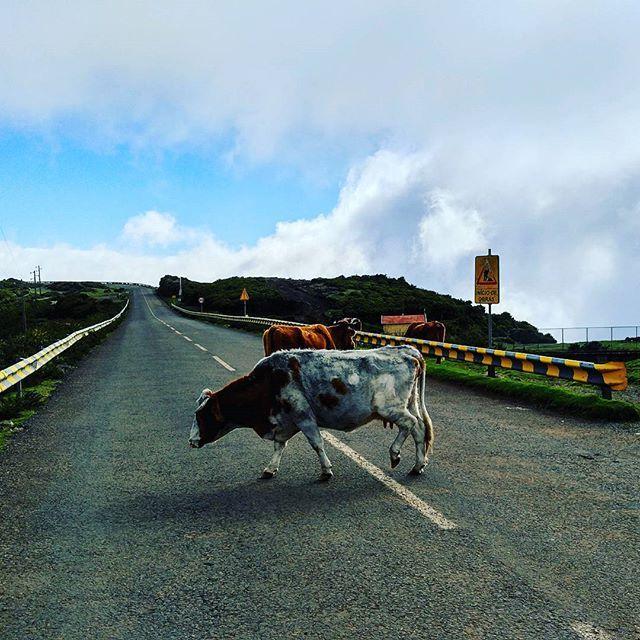 Kilometrin korkeudessa Rabacal nimisess� 25 Fontes -levadan alkup��ss� Madeiralla laiduntavat rebel lehm�t.    #rabacal #madeira #levada #sonni #horns #portugali #vuoret #landscape #bulls #animalphoto #visitmadeira #travelblogger #timokiviluoma