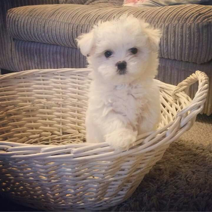 This is Noah, he's a maltese for all my adopted kids                                                                                                                                                                                 More