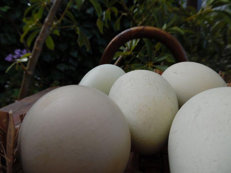 Huevos de campo, sureños