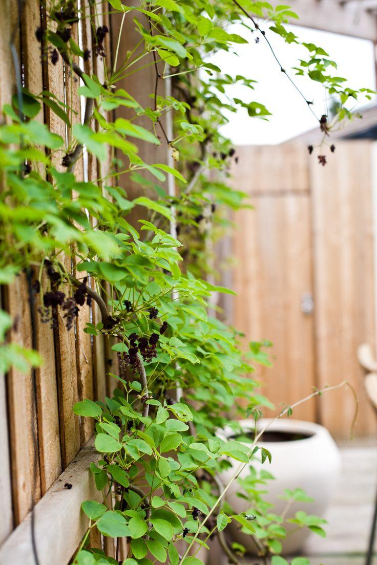 17 best vines! images on Pinterest   Vines, Flower gardening and ...
