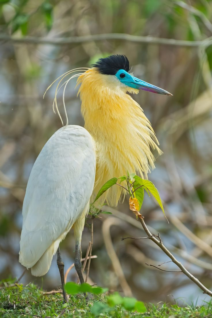 The Capped Heron (Pilherodius pileatus) is a water bird endemic to the neotropics