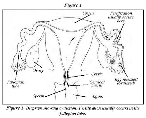 Female Reproductive Anatomy #macobgyn #anatomy #asrm