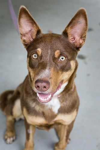 Shelter Dogs - Snickers by charlottereeves, via Flickr