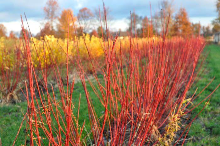 Redtwig dogwood field, Johnstown, OH