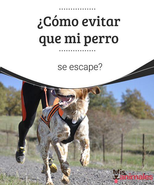 ¿Cómo evitar que mi perro se escape? Como dueño, una de las situaciones más difíciles que se puede vivir es que tu perro se escape o se extravíe. ¿Quieres saber cómo evitarlo? #consejos #miperro #escapar #evitarlo