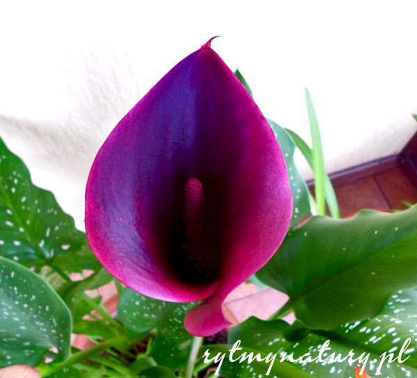 Kalla /calla, kalia, cantedeskia, zantedeschia/ ta dostojna księżniczka nada wytworności każdemu wnętrzu, tarasowi czy ogrodowi.To bardzo elegancka roślina.  #kalla #kalia #calla #cantedeskia #zantedeschia #ogród #kwiat