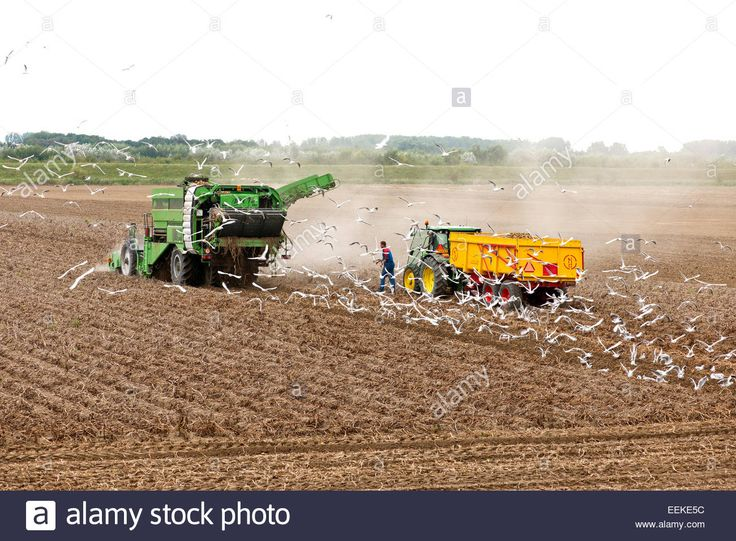 Potato Harvester In Action In A Dry Field Stock Photo, Royalty Free Image: 77874872 - Alamy