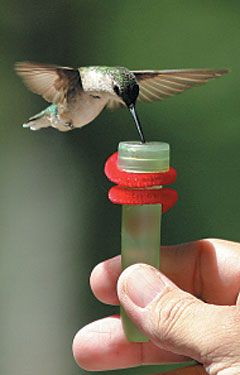 How to feed hummingbirds by hand. 1. Choose the Right Feeder.  We've tested many sugar-water feeders over the years, and we finally found a winner from the company First Nature. Even if you don't buy from this company, they provide good criteria for what you should look for in a sugar-water feeder. Use a mixture of four parts water to one part sugar.