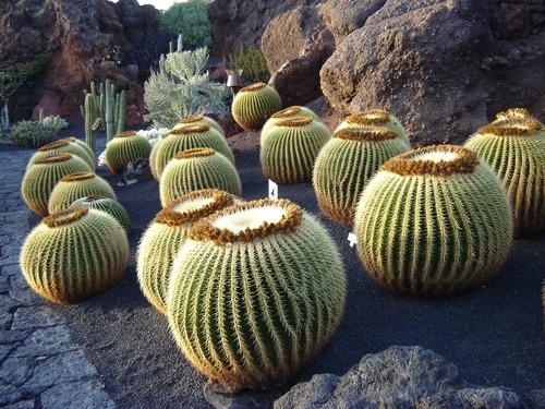 Nombre latín: Echinocactus grusonii Nombre común: Asiento de suegra ¡jejeje! ¡Qué ocurrencias!