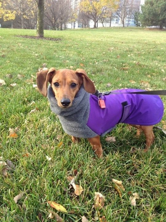 This is one of the best Doxie coats I've ever seen... Lots of coverage for their big chests and a tall neck portion that could cover their ears.