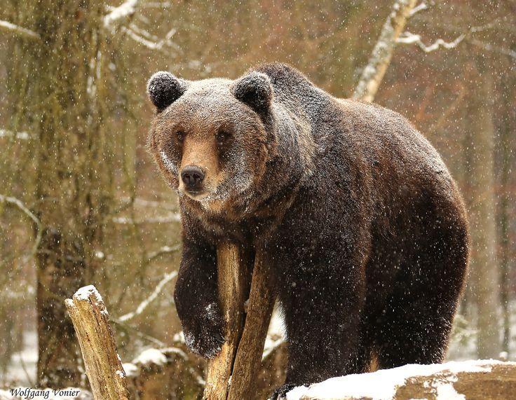 Unsere Bären halten während der kalten Monate keinen Winterschlaf, sondern eine Winterruhe. Es ist kein echter Winterschlaf, da zwar Atemfrequenz und Herzschlag deutlich zurückgehen, die Körpertemperatur aber nur wenig sinkt und sie relativ leicht aufzuwecken sind. Bär, Schnee, Winter, Tiere, Park, Freizeit, Wildpark, Natur, winterruhe, bear, snow, nature, bodensee