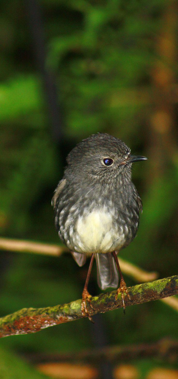 South Island Robin - New Zealand