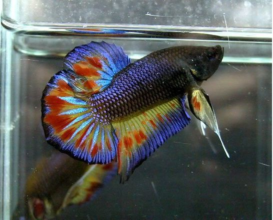 Purple orange dot halfmoon plakat: Freshwater, Aquarium